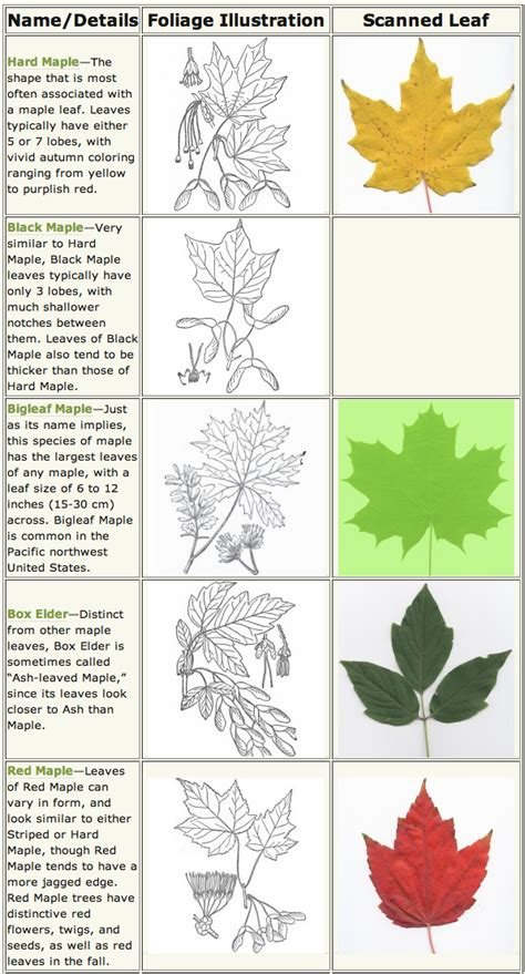 maple tree guide our beautiful maple trees in northwest arkansas and wildlife along the buffalo river