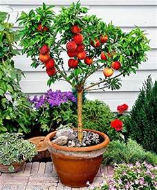 Vegetable Garden Containers Cheap - top 5 fruit trees for pots palmers garden centre