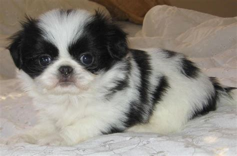 japanese chin and shih tzu 7 surprising shih tzu puppies mix that best gift for your ones