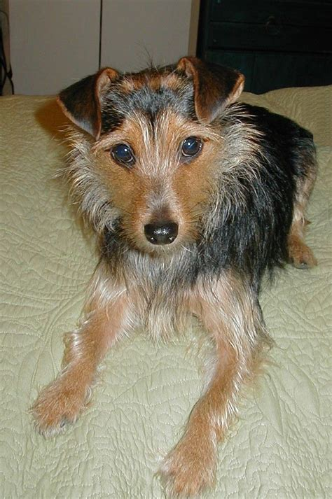 wire haired yorkie wire haired dachshund terrier mix photo
