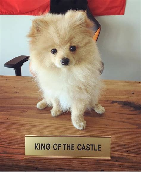 king pomeranian 434 best images about pomeranians on cutest dogs and pet r