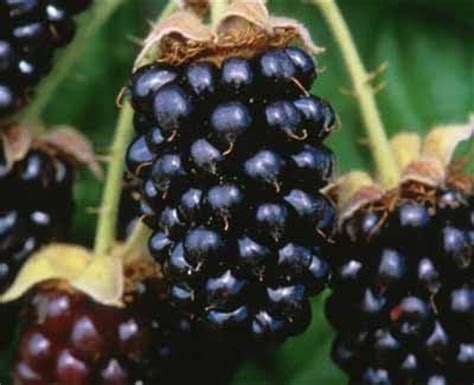 fruit vs berry talus slopes marionberry jammers a slice of oregon in