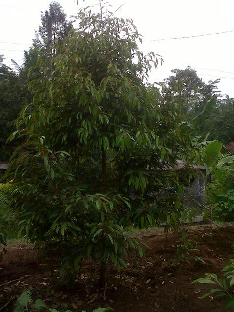 Bibit Durian Bawor Kediri jual bibit durian bawor di depok jual bibit durian bawor