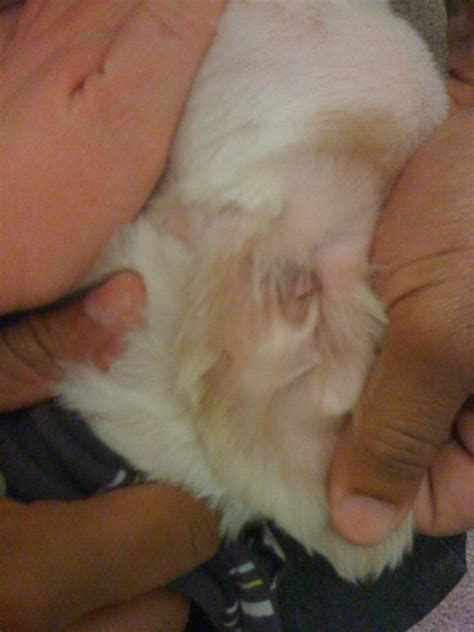 my dogs ear is swollen my 2 year lhasa apso s inside right ear is swollen and and his right eye seems