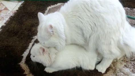 bengal cats breed of cats animal mating turkish angora cats mating