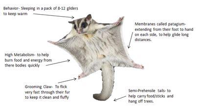 sugar glider animal adaptations