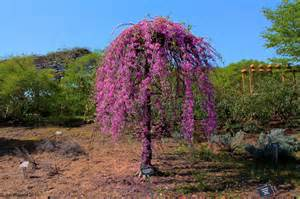 redbud tree facts