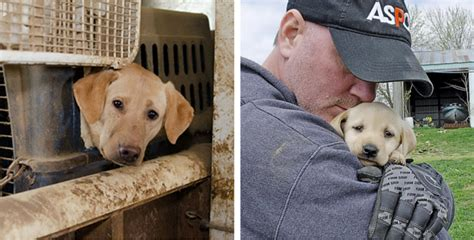 48 starving labradors just been rescued from a