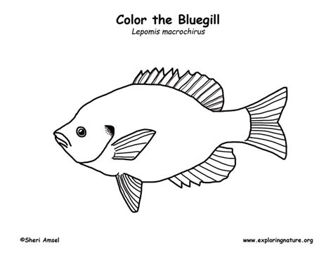 sunfish coloring page bluegill coloring