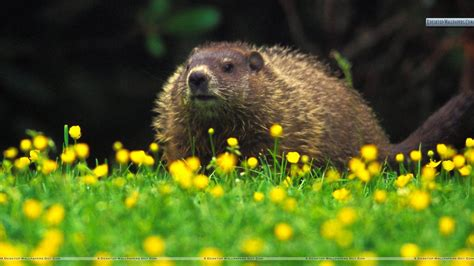 groundhog day wallpaper groundhog wallpapers wallpaper cave