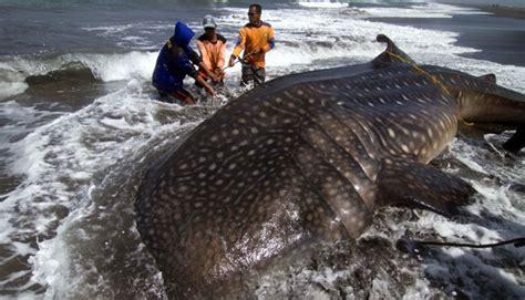 Jaring Ikan Kecil 5 hiu paus tersangkut jaring nelayan ikan teri nasional tempo co