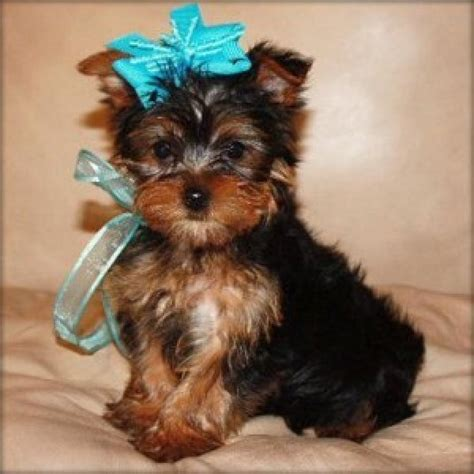 oklahoma yorkie breeders images of yorkies contact absolutely adorable teacup yorkie puppies i