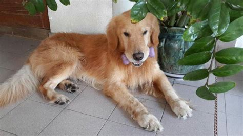 golden retriever malaysia golden retriever in malaysia dogs our friends photo