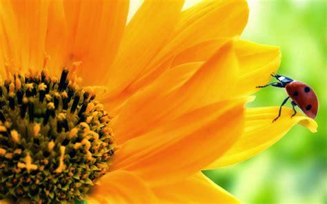 wallpaper bunga matahari deloiz wallpaper
