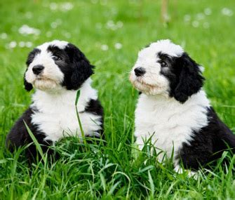 raising two puppies from different litters is it a idea to adopt two puppies at the same time