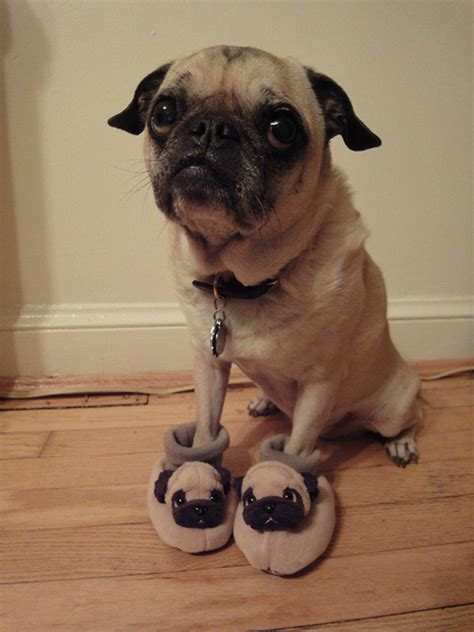 shoes for pugs cuties on min pins miniature pinscher and pugs