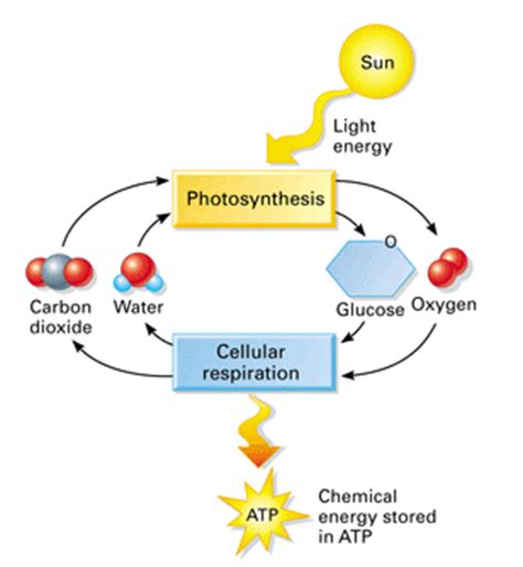 cell energy photosynthesis and respiration section 6 1 photosynthesis cellular respiration lm white biology