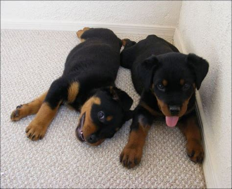 puppy rottweiler tips puppy stages from birth to adulthood learning and easy