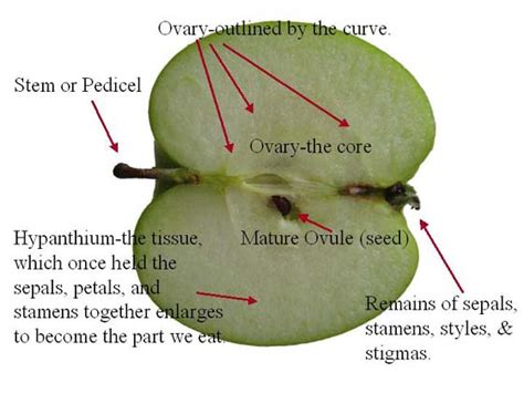 cross section of an apple apple anatomy long section