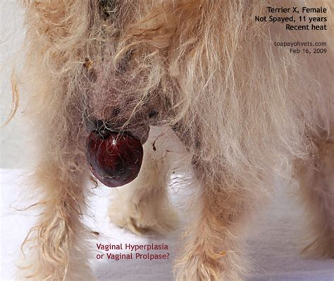 vaginitis in dogs 031001asingapore veterinary dystocia emergency caesarians schnauzer maltese fox