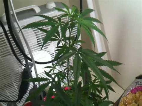 marijuana fluorescent grow closet 1