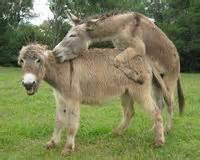 esel beim decken castelo do burro unser zuchthengst und seine stuten