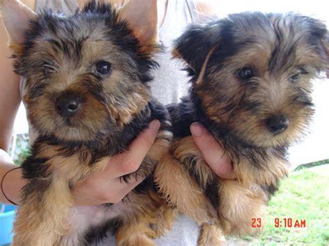 australian terrier puppies for sale australian silky terrier puppies for sale to homes breeds picture