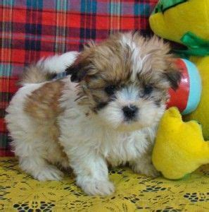 shih tzu for sale sacramento 43 best images about dogs i on morkie puppies for sale yorkie and