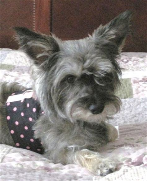 yorkie mixed with schnauzer an yorkie hairstyle galleries for 2016 2017