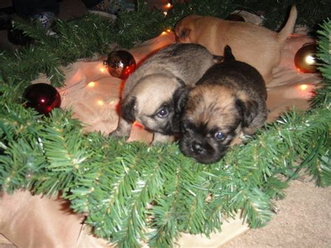 pug puppies for sale tucson pet classifieds arizona pet classifieds arizona pet classifieds arizona three pug