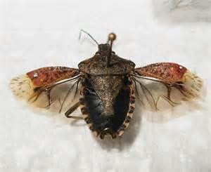 bed bugs wings brown marmorated stink bug wings halyomorpha halys bugguide net