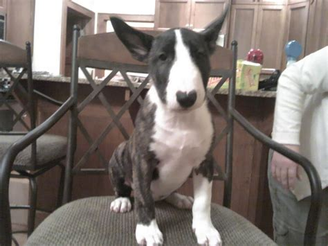 bull terrier puppies for sale in florida registered bull terrier puppies for sale wi honda tech