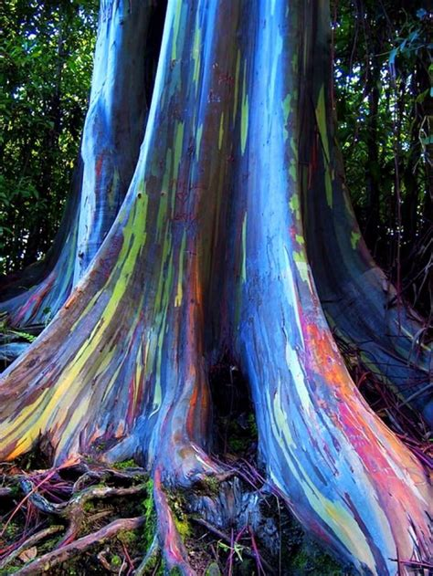 rainbow eucalyptus the world s most amazing trees