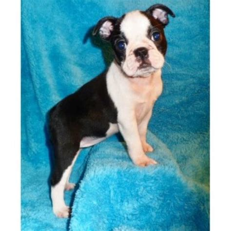 free puppies knoxville tn bestbostonterrierpuppies boston terrier breeder in knoxville tennessee