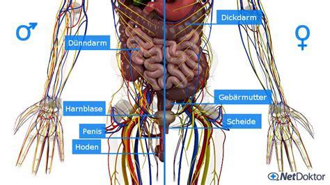 innere geschlechtsorgane pin anatomie organe mann und frau topografie organe im