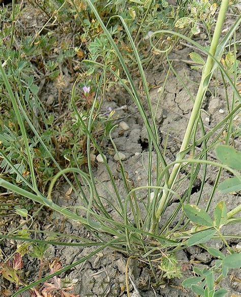 Crocus Plante Vivace Ou Annuelle by Salsifis 224 Feuilles De Crocus V 233 G 233 Tal