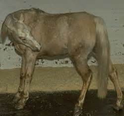 Cribbing Horses Treatment by Gastric Ulcer Symptoms In Horses