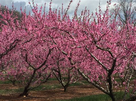 backyard peach tree 100 backyard peach tree growing fruit on my urban
