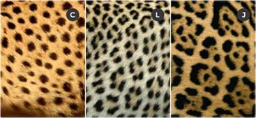Leopard Jaguar Comparison How To Tell The Difference Between A Cheetah Leopard