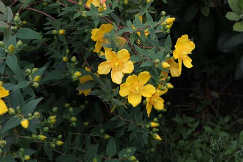 Buisson Fleur Jaune by Buisson A Fleur Jaune Homeezy