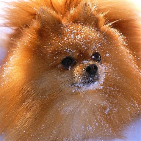 where did pomeranians originate 483 best everything pomeranian images on doggies german spitz and animal