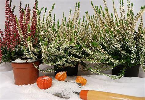 piante da giardino resistenti al gelo piante da vaso resistenti al gelo