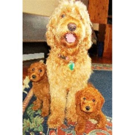 goldendoodle puppies nc goldendoodle breeders in carolina freedoglistings breeds picture
