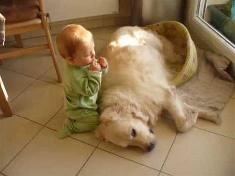 golden retriever bebe golden retriever bebe calin chiots aux leux