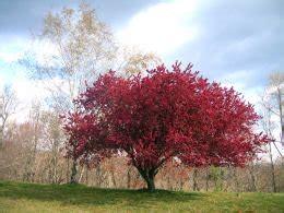 many types of cherry trees