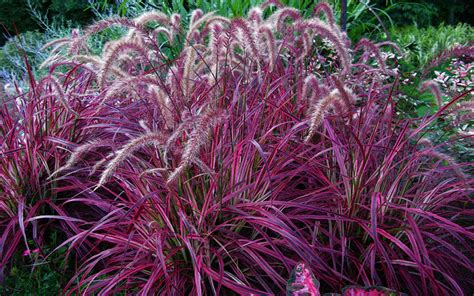 rotes gras ornamental grass for sale fort myers