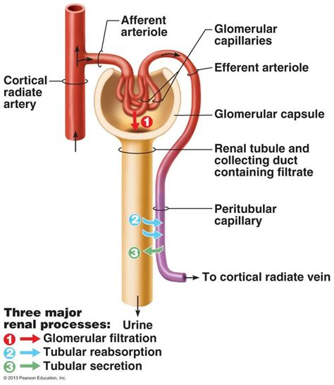 define creatine o 399 best images about urinary system on loop