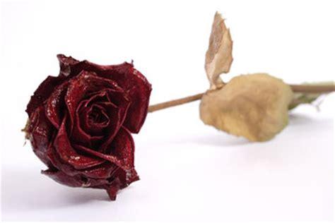 rosenrost was tun krankheiten