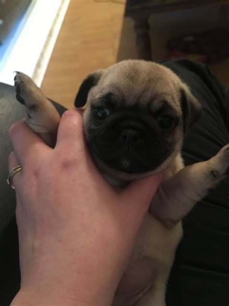 pug puppies for sale in gloucestershire pug puppies gloucester gloucestershire pets4homes