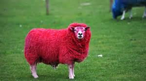 colored sheep sheep rustling surge blamed on organised gangs channel 4